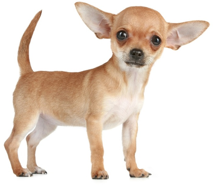 Tiny Chihuahua ripped to shreds by bull terrier