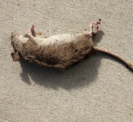Dead rat at the hipster bakery